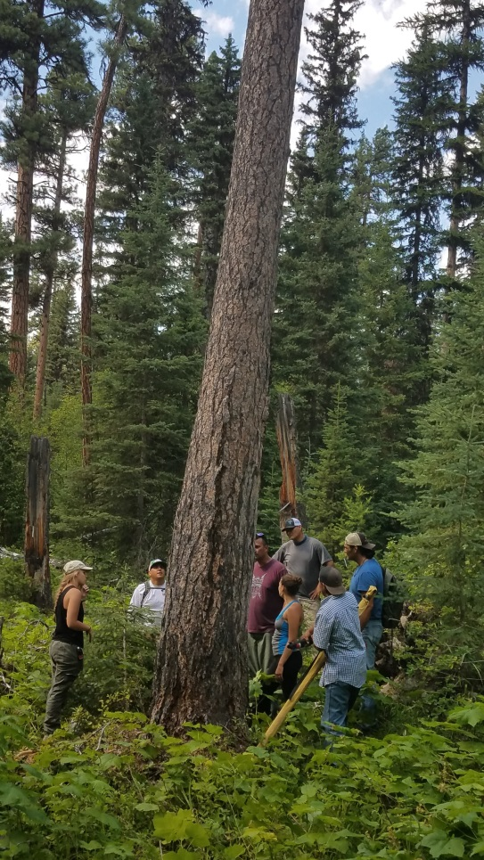 THPP students and faculty viewing a culturally modified pine tree in Glacier National Park (modification not visible)