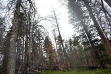 Damages caused by bark beetles